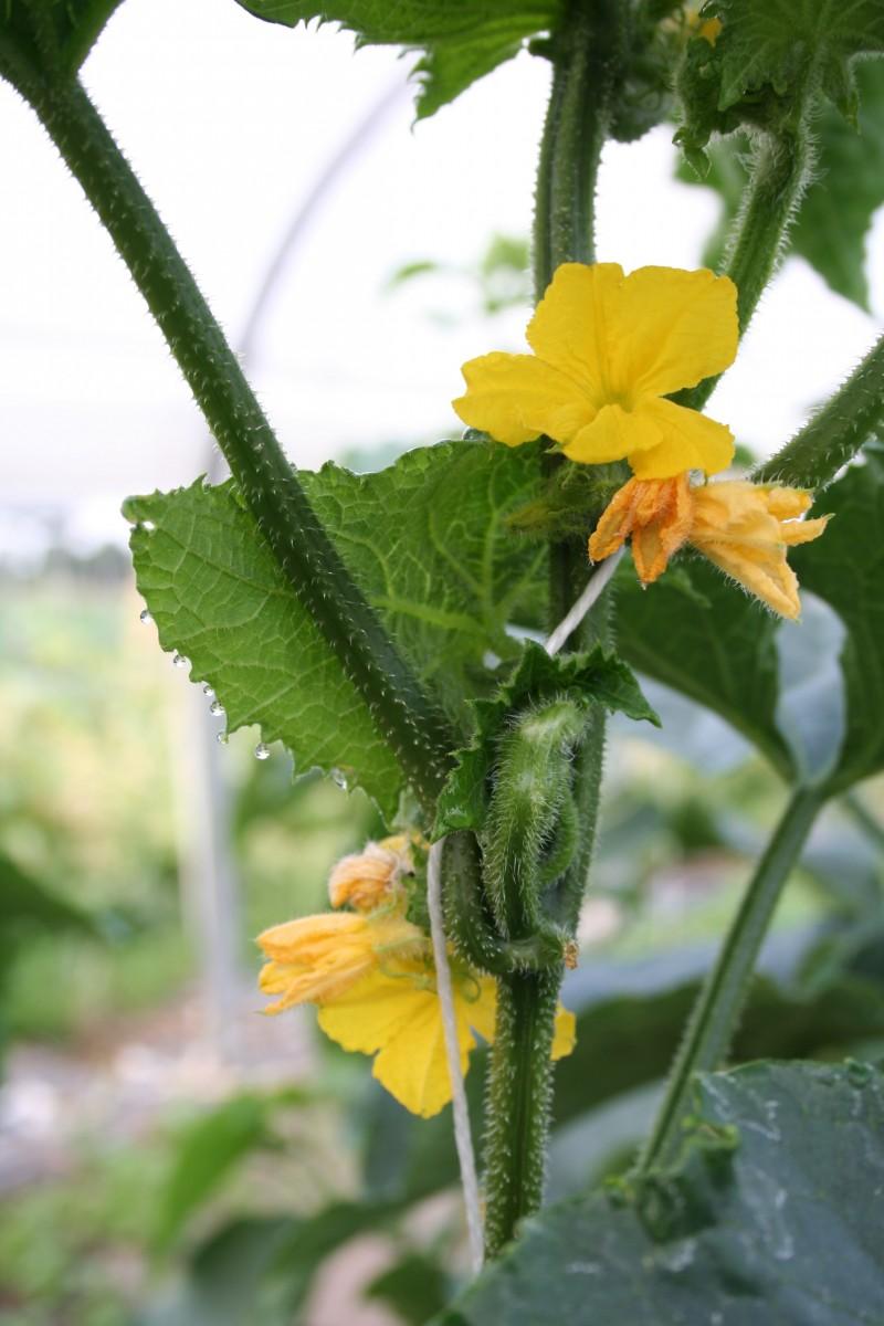 komkommer bloei