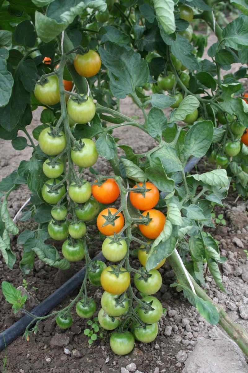 tomaat01